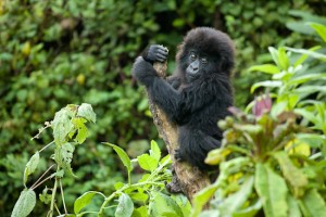 Infant_gorilla_in_Bwenge_group Best Places for Gorilla Trekking in East Africa Best Places for Gorilla Trekking in East Africa Infant gorilla in Bwenge group