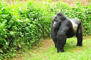 silverback Mountain Gorilla Best Places for Gorilla Trekking in East Africa Best Places for Gorilla Trekking in East Africa silverback Mountain Gorilla