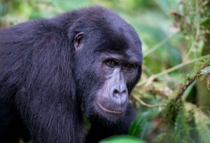 Gorilla in Bwindi Forest National Park Best Places for Gorilla Trekking in East Africa Best Places for Gorilla Trekking in East Africa Gorilla Photography 3