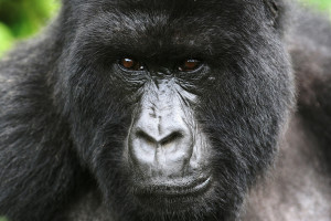 3 Days Budget Gorilla Tracking Best Places for Gorilla Trekking in East Africa Best Places for Gorilla Trekking in East Africa 3