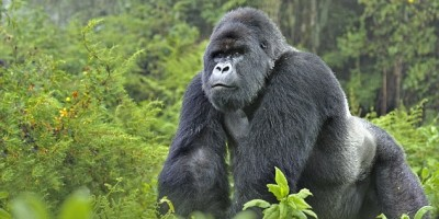 4 Day Rwanda Gorillas & Golden Monkey Trekking Safari | Gorilla Safaris