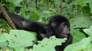 Gorilla Habituation Experiential Safaris