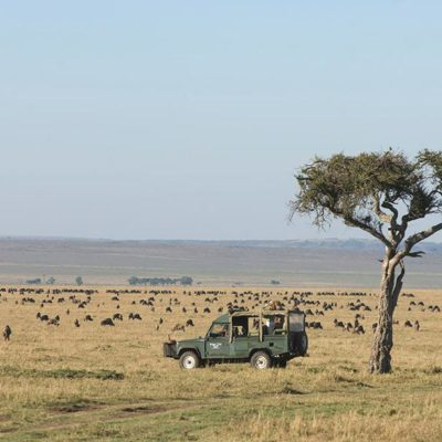 great herds spread in Masai Mara