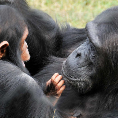 Full Day Chimpanzee Habituation