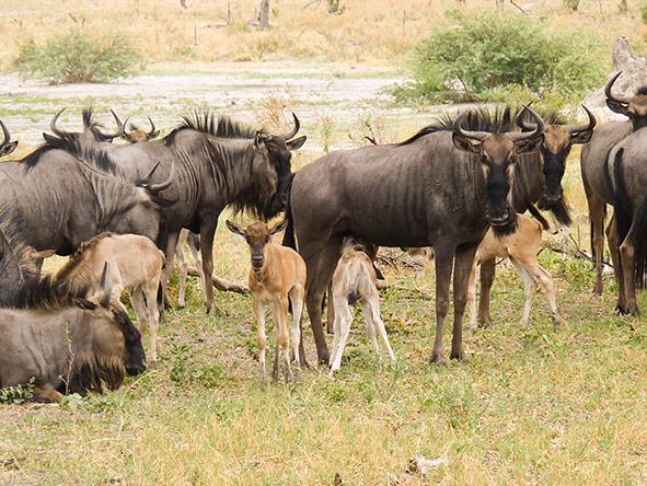 Wildebeest Birthing Season In Serengeti NP   Wildebeest Calving Season in Serengeti NP   Tanzania Safaris   Realm Africa Safaris™
