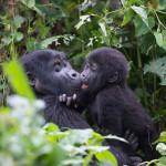 Gorilla Trekking Safari – What it Means