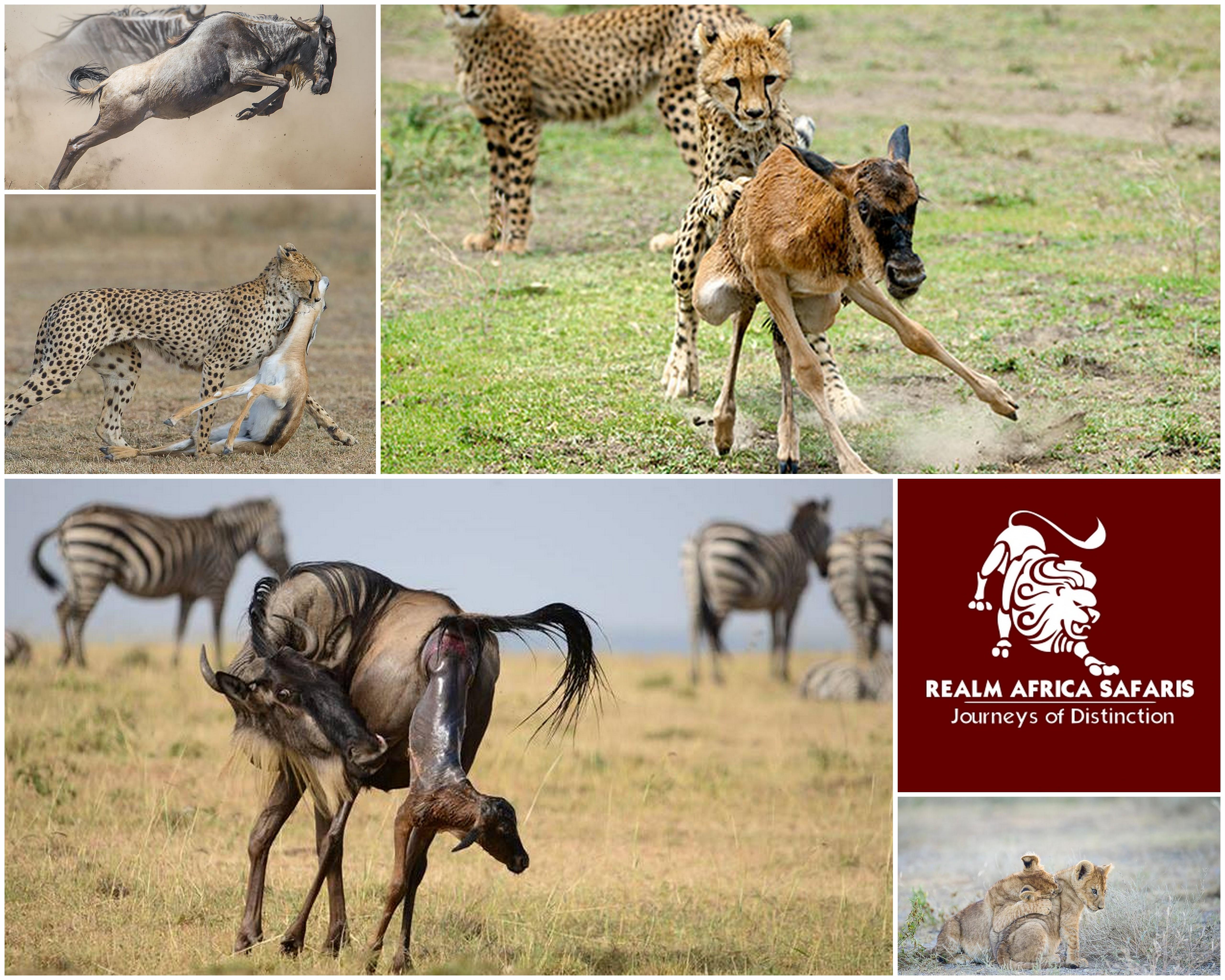 Wildebeest calving season in serengeti | Tanmzania Safari | Realm Africa Safaris