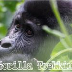 Valentines Day Gorilla Trekking Safari Holiday Tour