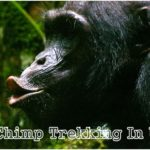 5 Days Discounted Uganda Gorilla – Chimp Trekking Tour