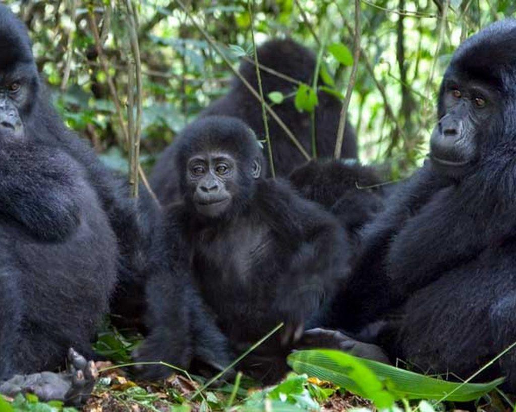 03 Day fly-in Uganda Gorilla Habituation Safari