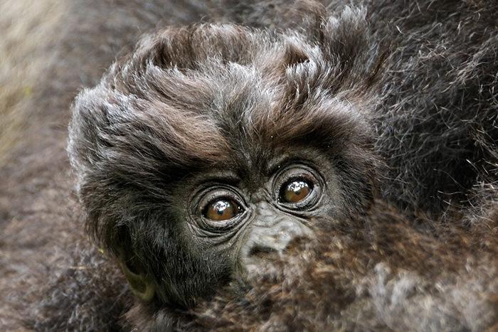 Mountain Gorilla Trekking In Rwanda