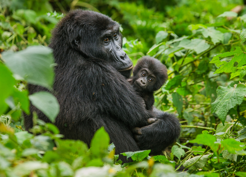 5 Days gorilla and Chimpanzee Trekking Safari | Realm Africa Safaris