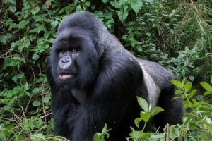 Uganda Discounted Low Season Gorilla Permits End