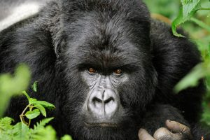 16 Days Uganda Encompassed Safari | Realm Africa Safaris | Uganda Gorilla Safaris | Gorilla Trekking Uganda