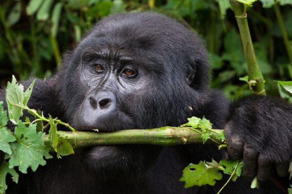 Bwindi Forest Gorilla Trekking Tours | 7 days Uganda Gorilla Safari | Realm Africa Safaris |Bwindi Safari