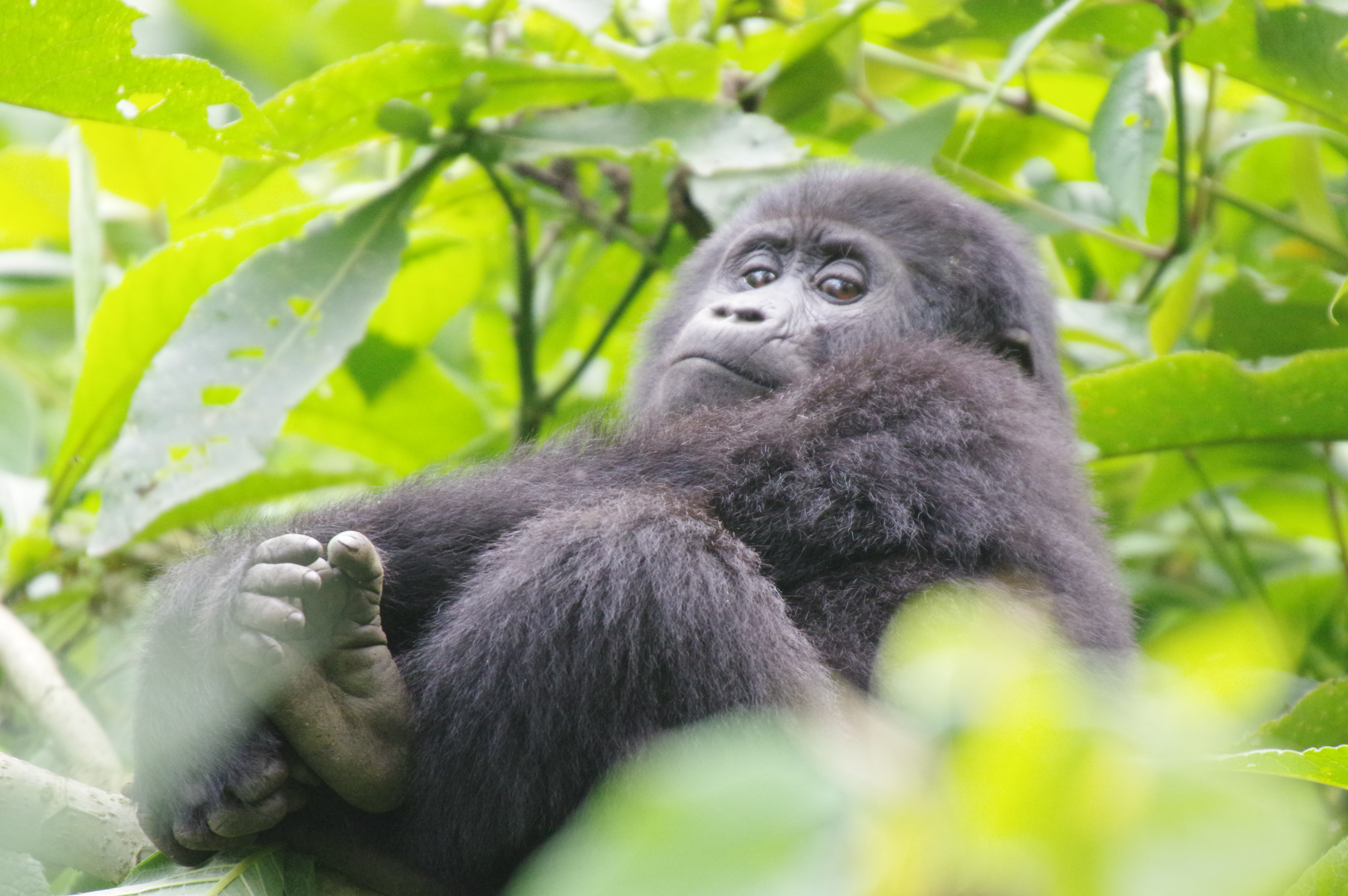 Top Uganda Safaris 2018 - 2019 | Real Africa Safaris | Uganda Gorilla Safaris in Uganda | Gorilla Tracking In Uganda