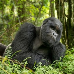 3 Days Uganda Gorilla Fly In Safari | Realm Africa Safaris