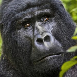5 Days Fly-In Gorillas & Chimps | Realm Africa Safaris