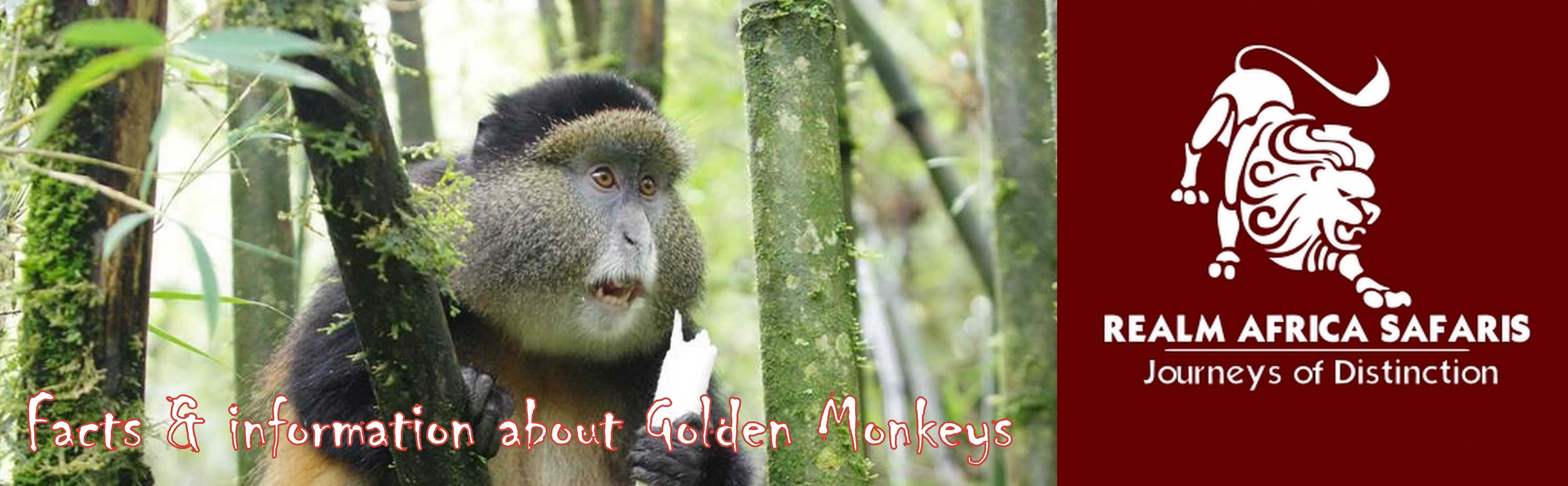 facts and information about Golden Monkeys