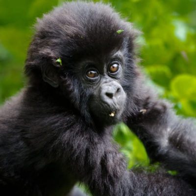 16 Day Uganda Encompassed | 2018 - 2019 Gorilla Safaris | Realm Africa Safaris