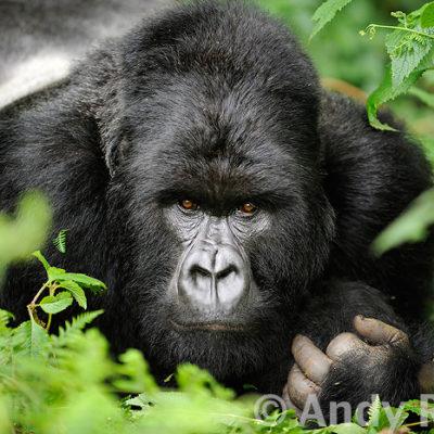 2 Day Express Rwanda gorilla Safari | Realm Africa Safaris
