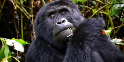 Uganda Gorilla Safaris | Mgahinga Gorilla Safaris | Mgahinga Gorilla National Park | 3 Day Gorillas & golden Monkeys in Mgahinga Gorilla Park | Realm Africa Safaris