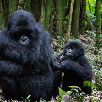 3 Day Rwanda Gorilla Safari | Realm Africa Safaris