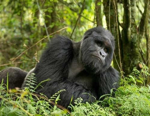 Budget Uganda gorilla Safaris | Realm Africa Safaris