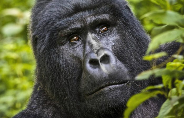 3 Days Uganda Gorilla Habituation Safari | Gorilla Safaris | Gorilla Habituation Safaris | Realm Africa Safaris