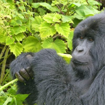 5 Day Uganda Gorilla Safari - Tour | 2018 -2019 Gorilla Safaris