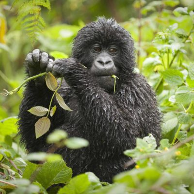 7 Day Uganda Gorilla Safari | 2018 - 2019 Gorilla Safari