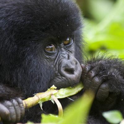 2 Day Uganda Gorilla Safari from Kigali