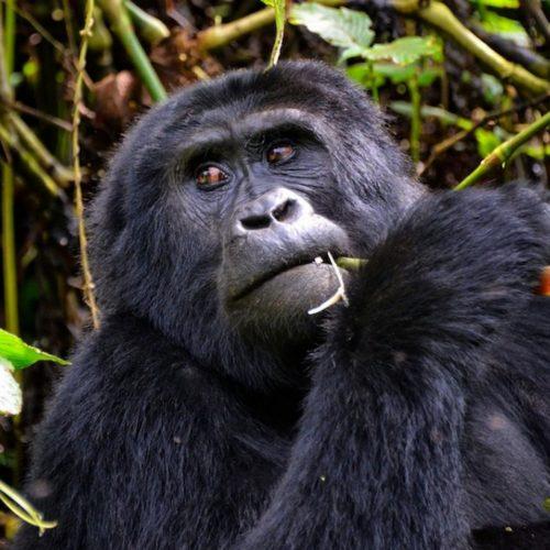 5 Day Budget Uganda Gorillas & Chimps