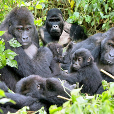 5 Days Budget Gorilla and Game Drive Safari | Realm Africa Safaris |