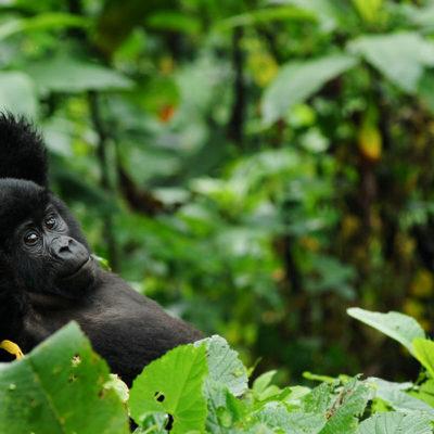 6 Day Uganda gorilla Safari from Kigali