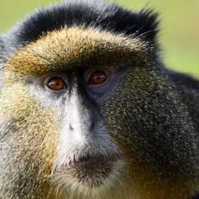 Gorilla and Golden Monkey safari