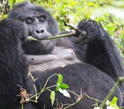 Uganda Gorilla Safaris starting in Kigali _ Rwanda