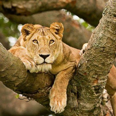 Filming Tree Climbing Lions In Uganda