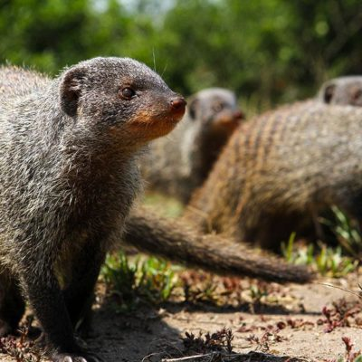 Mongoose Filming In Queen Elizabeth National Park
