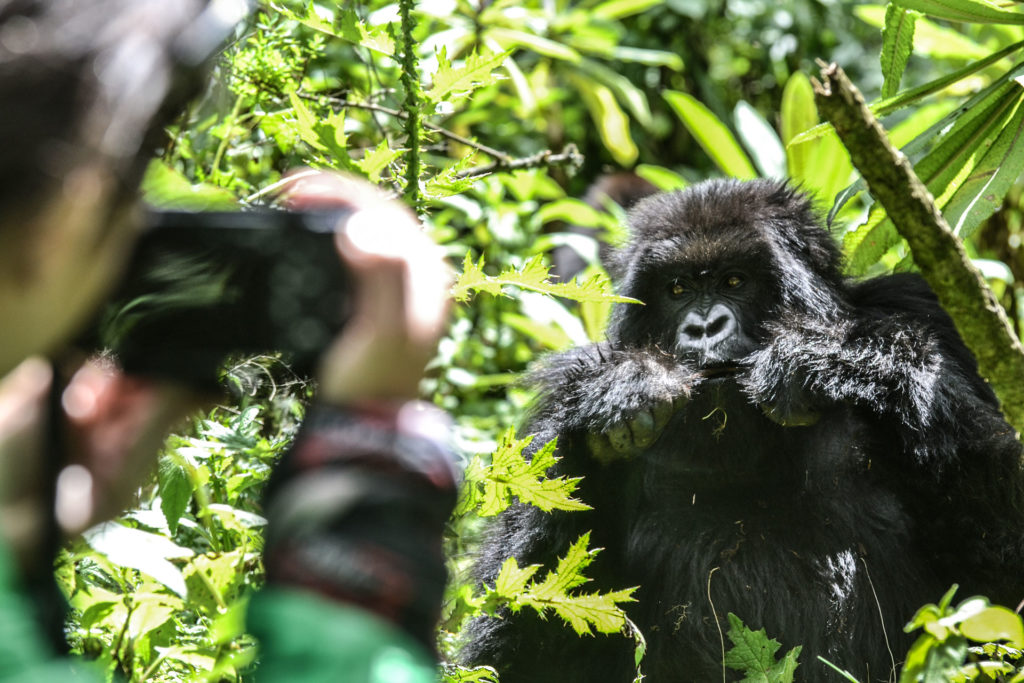 Mountain Gorilla Filming in Uganda 1
