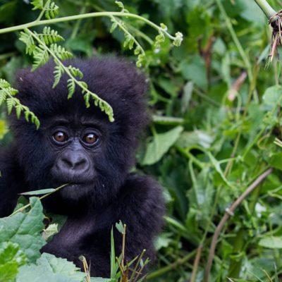 Uganda Gorilla Safaris | Realm Africa Safaris