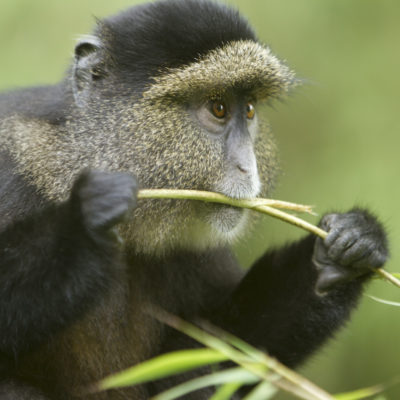 Golden Monkey Filming In Rwanda