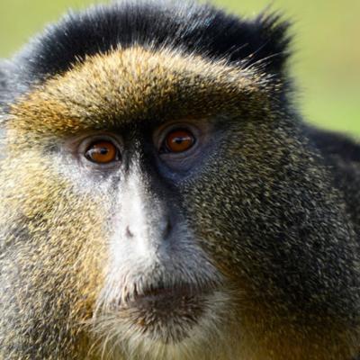 Golden Monkey Trekking In Mgahinga Gorilla NP