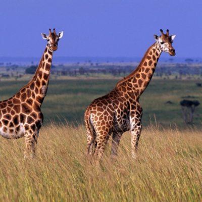 Safaris to Murchison Falls NP