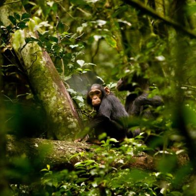 chimpanzee Filiming In Nyungwe Forest National Park
