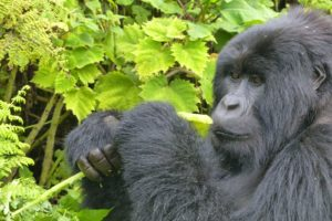 Midrange Gorilla Safaris