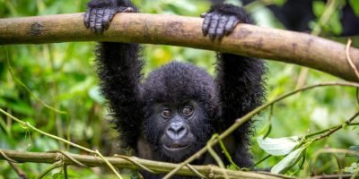 Important things to consider when booking gorilla safaris