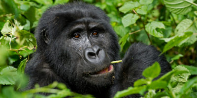 Luxury gorilla Safaris