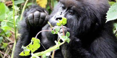 Budget Gorilla Safaris