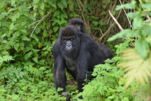 4 Days Luxury Gorilla Safari from Rwanda